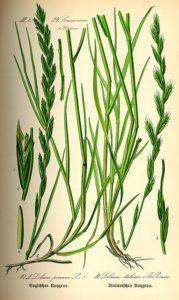 Rasensorten - Deutsches Weidelgras