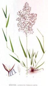 Rasensorten - Rotes Straußgras